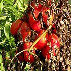Organic Roma Tomatoes by Brian Chase
