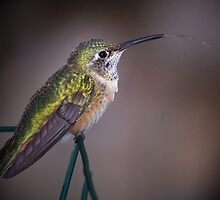 Broad-tailed Hummingbird by Eivor Kuchta