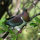 Kereru - New Zealand native Wood Pigeon.......feeding (1) by Roy  Massicks