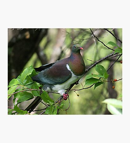Kereru - New Zealand native Wood Pigeon.......feeding (1) Photographic Print
