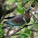 Kereru - Native New Zealand Wood Pigeon.....(2) ! by Roy  Massicks