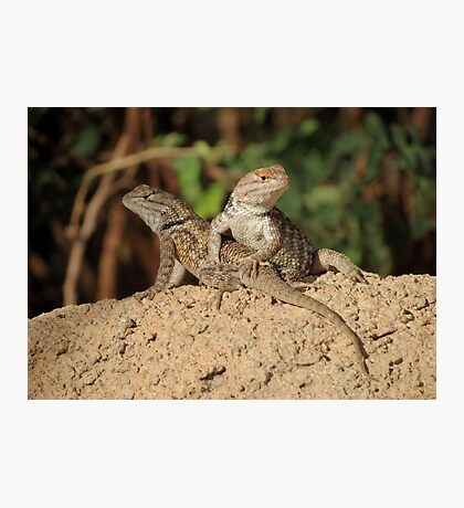 Desert Spiny Lizard (Juveniles) Photographic Print