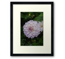 A LOVELY DAHLIA IN THE GROUNDS OF HAREWOOD HOUSE Framed Print