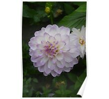 A LOVELY DAHLIA IN THE GROUNDS OF HAREWOOD HOUSE Poster