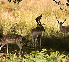 Not too dear, but three deer  .!  by Rob Hawkins