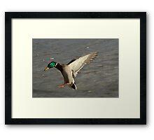 Handicapped Mallard Duck flying Framed Print