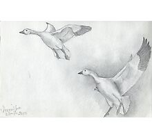 Snow Goose Flying Photographic Print
