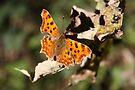 Comma Butterfly in Fall by Jo Nijenhuis
