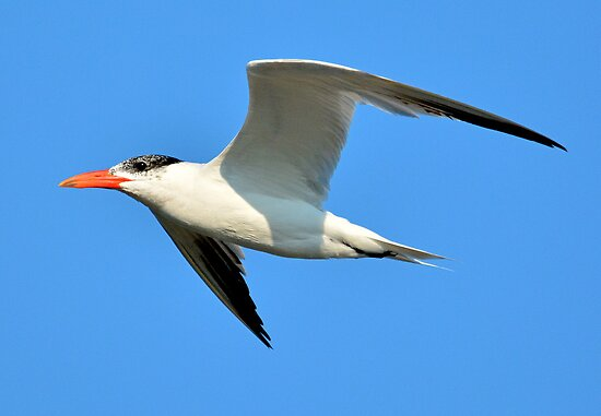 A Tern Fly By against the blue SC sky by imagetj