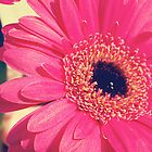 Hot Pink Gerbera by hannahsylvia