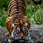 Single Tiger by MattyBoh424