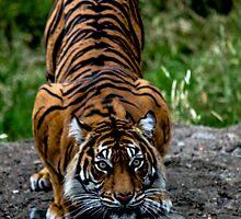 Single Tiger by MattyBoh424