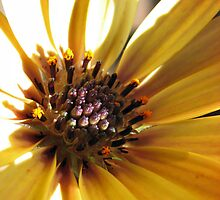 Sunny Cape Daisy - Supermacro by BlueMoonRose