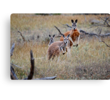 Red Kangaroo family Canvas Print