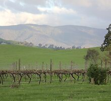 Vineyard in the Valley by Kymbo
