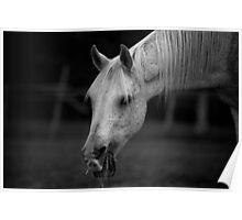 Arabian Horse Black and White Poster