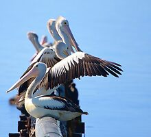 Pelican gathering by John Harvey