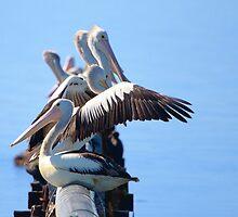 Pelican gathering by John Harvey