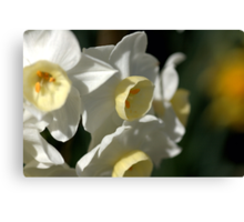 Shining Light - Daffodils Canvas Print