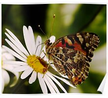 Meadow Argus Butterfly on a Marguerite Daisy Poster