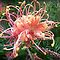 *Grevillea/Feature Page - Enchanted Flowers*