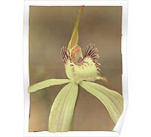 A Very Splendid Splendid Spider Orchid Poster