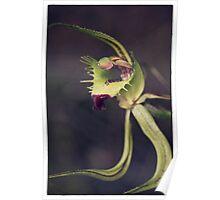 Caladenia attigens subsp attigens Poster