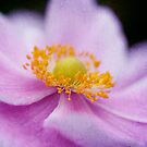 Pink Anemone Macro by Astrid Ewing Photography