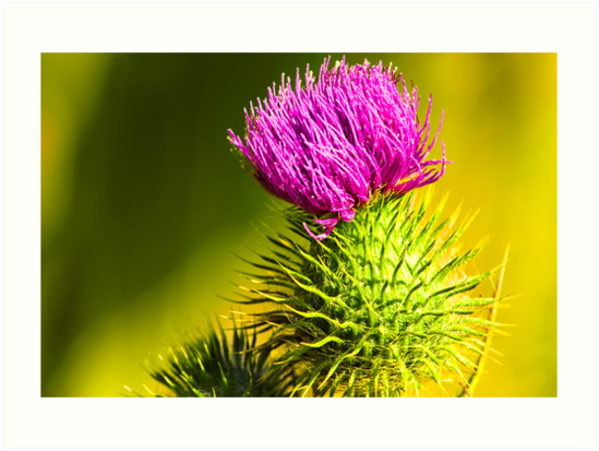 Nature's Crown - Thistle in Northern California by Mark Tisdale
