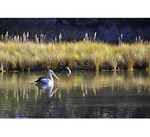 Pelican at Tidbinbilla - Canberra ecotourism experiences Photographic Print