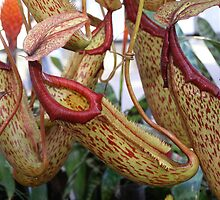 Pitcher plants by Jack Miller