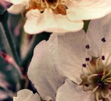Blossoms at Dusk  Sticker