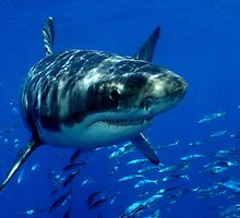 Great White Shark by Davidpstephens