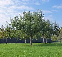 Apple Orchard  - Swabian Alb, Southern Germany by Bine