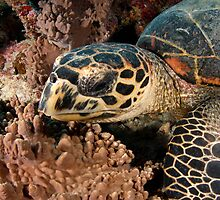 Hawksbill turtle on coral reef by Davidpstephens