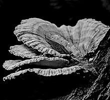 Chicken Of The Woods Shelf Fungi - Laetiporus sulphureus by MotherNature2