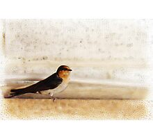 Winter Swallow Photographic Print