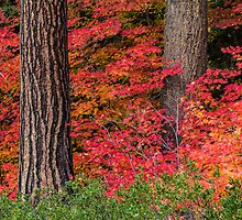 Vine Maples and PineTrees  by Jim Stiles