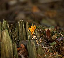 Yellow Stagshorn Fungus by Sue Robinson