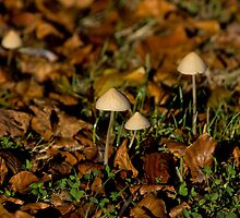 Toadstools in early morning sun by Sue Robinson