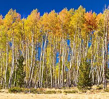 Colorful Aspen Panorama by Bo Insogna