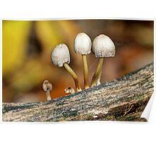 Little Cloche Cap Mushroom - Panaeolus semiovatus Poster