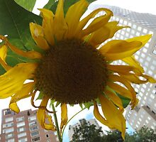 Sunflower Close-Up, Community Garden, Lower Manhattan, New York City  by lenspiro