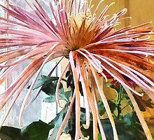 Flowers - Spider Mum Pink Splendor by Susan Savad