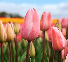 Tulips in pink by bronwyn febey photography