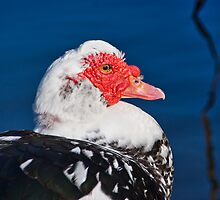 Muscovy Duck by Susie Peek