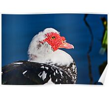 Muscovy Duck Poster