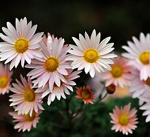 Touch Of Pink Daisy Mums II by Tom Baker