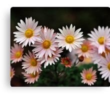 Touch Of Pink Daisy Mums II Canvas Print