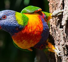 Splash of Colours - Rainbow Lorikeet by Maretta Emily Photography